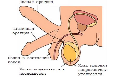 Средний размер пениса - 12 - 15 сантиметров